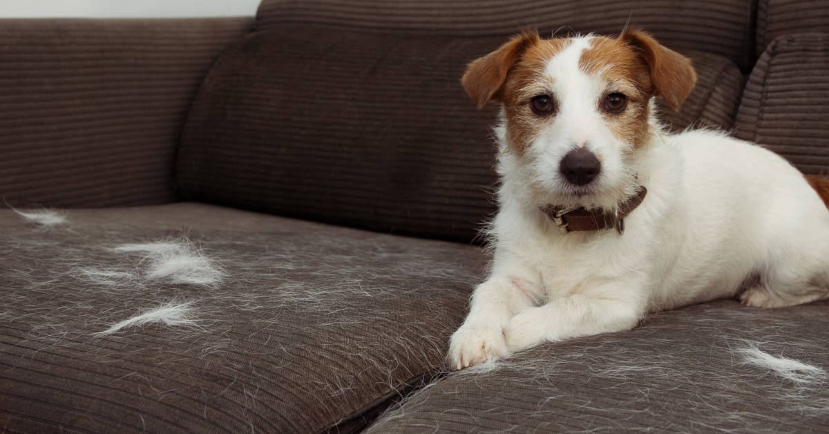 Jack Russell Terrier dog laying on couch with shedding hair