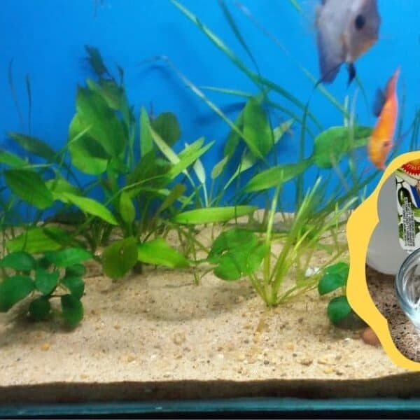 fish aquarium with snippet showing vinegar bottle yellow background for cleaning fish aquarium with vinegar